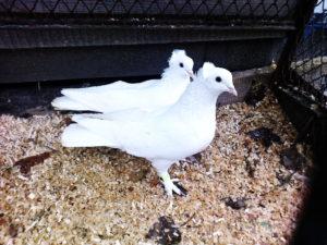Ленинаканские (Гюмри) голуби
