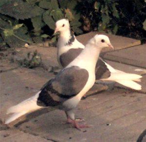 Армянские голуби